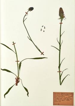 Phyteuma scorzonerifolium