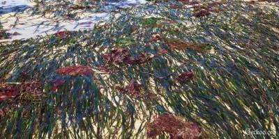 Zostera marina à l'air libre