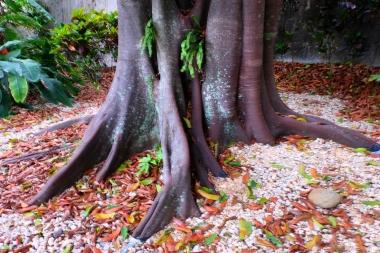 Un arbre du jardin botanique de Bogor, Java, Indonésie