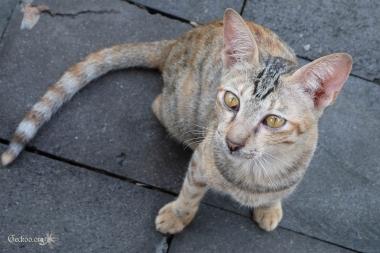 chat à Borobudur, Java, Indonésie