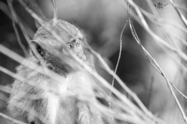 Macaque crabier ou à longue queue, Bali, Indonésie