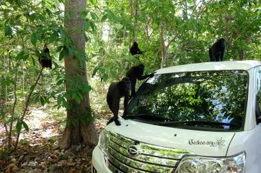 Macaque noir, Nord Sulawesi, Indonésie