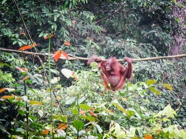 Orang outan, Bornéo, Indonésie