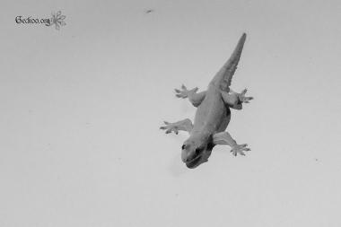 gecko de Parangtritis, Java, Indonésie