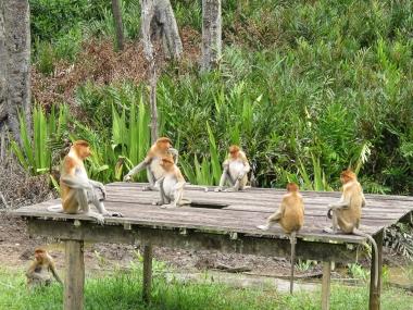 Singe nasique, Bornéo, Indonésie