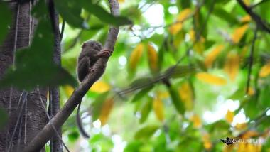 Tarsier, Nord Sulawesi, Indonésie