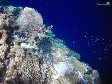 tortue au dessus du corail