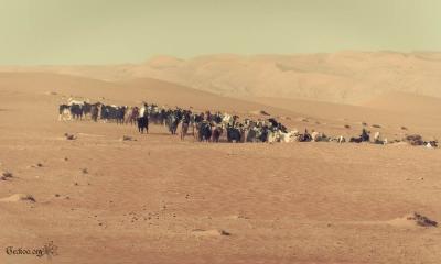 Troupeau de chèvres à Wahiba Sands