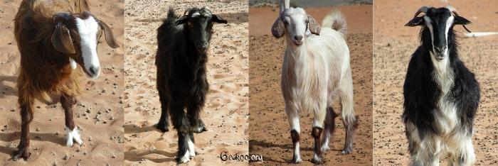 Portraits de chèvres de Wahiba Sands