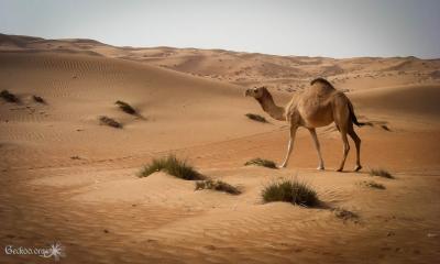 Dunes et dromadaire de Wahiba Sands
