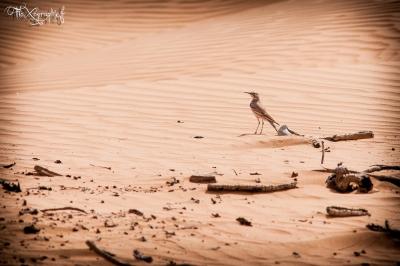 Oiseau de Wahiba Sands