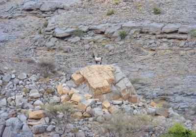 chèvre dans la montagne à Jebel Sham
