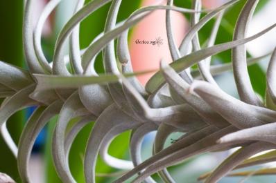 tillandsia-latifolia-2