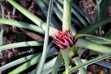 Jeune hampe florale d