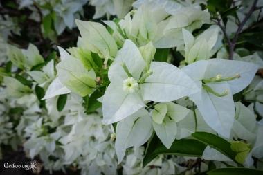 Bougainvillier blanc, famille des Nyctaginacées