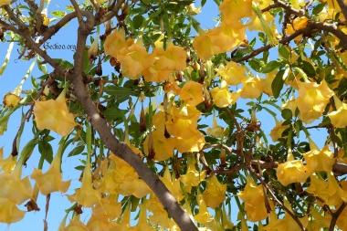 Brugmansia, famille des Solanacées