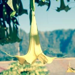Fleur de Brugmansia, famille des Solanacées