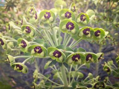 Euphorbe characias, famille des Euphorbiacées