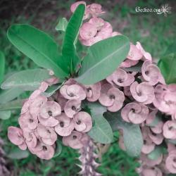 Euphorbia milii, famille des Euphorbiacées