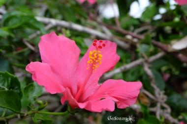 Hibiscus, famille des Malvacées