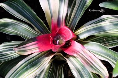 Neoregelia carolinae en fleur