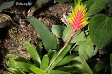 Vriesea carinata