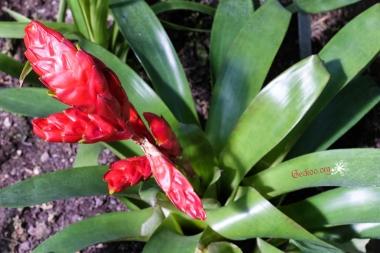 Vriesea sp.