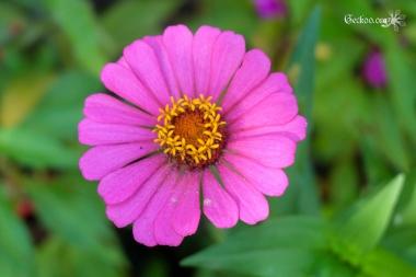 Fleur rose de Zinnia de la famille des Astéracées