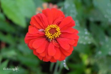 Fleur rouge de Zinnia de la famille des Astéracées