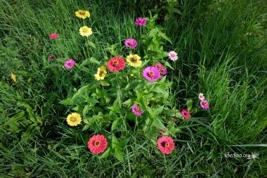 Zinnia multicolores de la famille des Astéracées