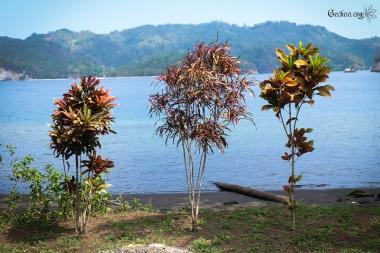 Codiaeum, famille des Euphorbiacées