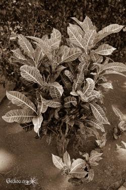 Codiaeum, des Euphorbiacées