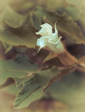 Fleur de Datura stramonium
