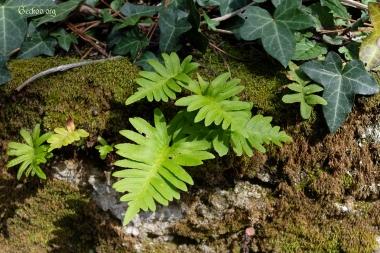 Fougère, Polypodium sp.