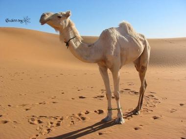 Dromadaire - désert de Libye