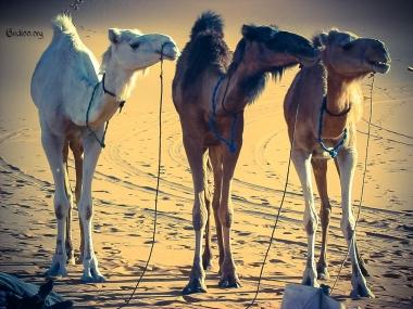 Groupe de dromadaires - désert de Libye