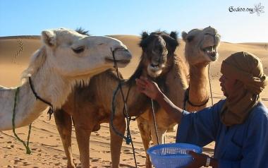 Dromadaires et chamelier - désert de Libye