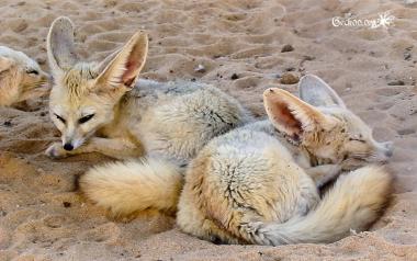 Fennec - désert de Libye