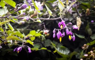Fleur de Solanum dulcamara, la douce-amère