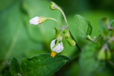 fleur de Solanum nigrum