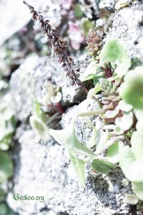Umbilicus rupestris, Crassulaceae