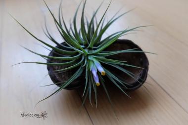 Tillandsia kolbii en fleur